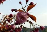 Kirscblüte Foto Raden