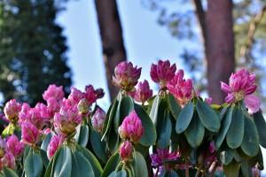 Rhododendronblüte_Foto Pixaby
